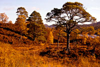 Ancient Caledonian Pine Forest